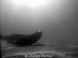 Sea lion at the point. by Charles Bernier 